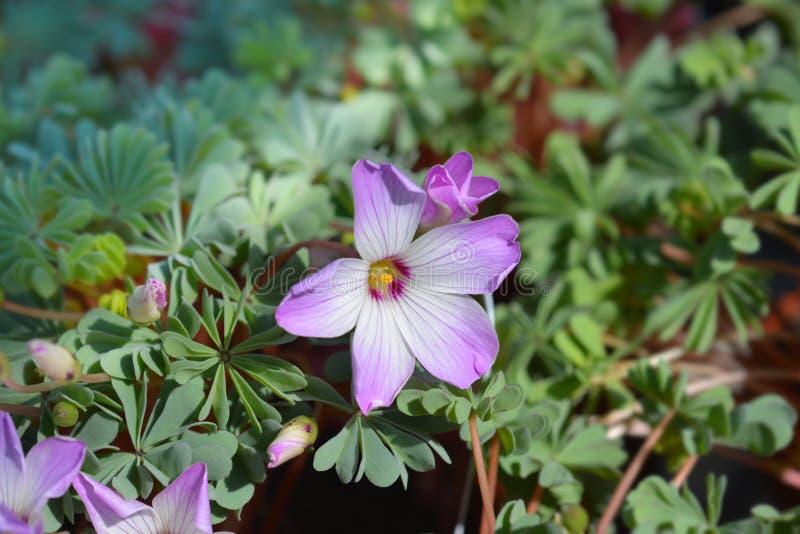 Chilean oxalis. Latin name - Oxalis adenophylla royalty free stock image