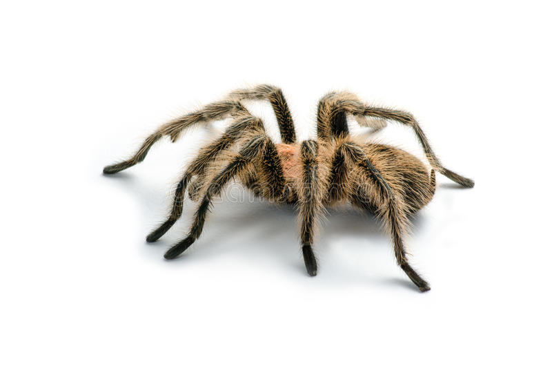 Chilean rose tarantula royalty free stock image