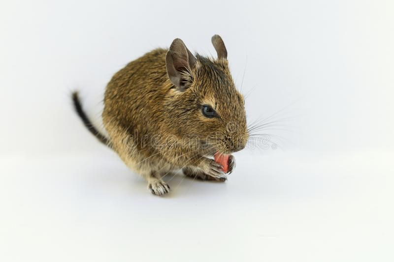 Chilean squirrel degu eating peanut nut, isolated on white background.  stock photos