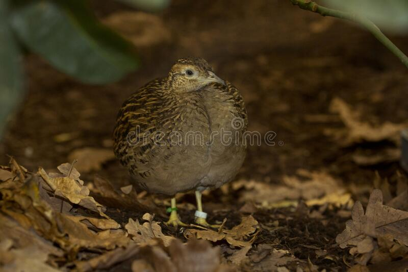 The Chilean tinamou Nothoprocta perdicaria. The Chilean tinamou Nothoprocta perdicaria in zoo royalty free stock photography