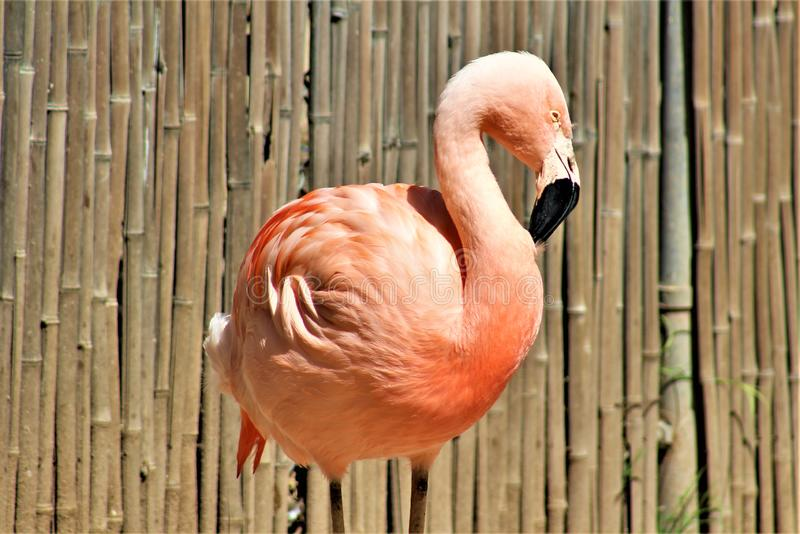 Chileense Flamingo bij de Dierentuin van Phoenix, het Centrum van Arizona voor Natuurbescherming, Phoenix, Arizona, Verenigde Sta royalty-vrije stock fotografie