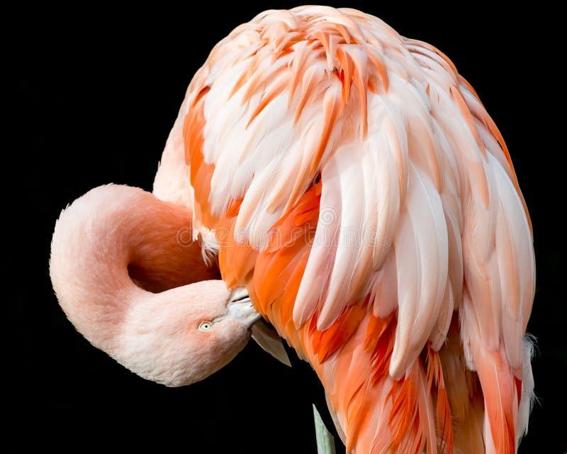 Chileense Flamingo II royalty-vrije stock foto's