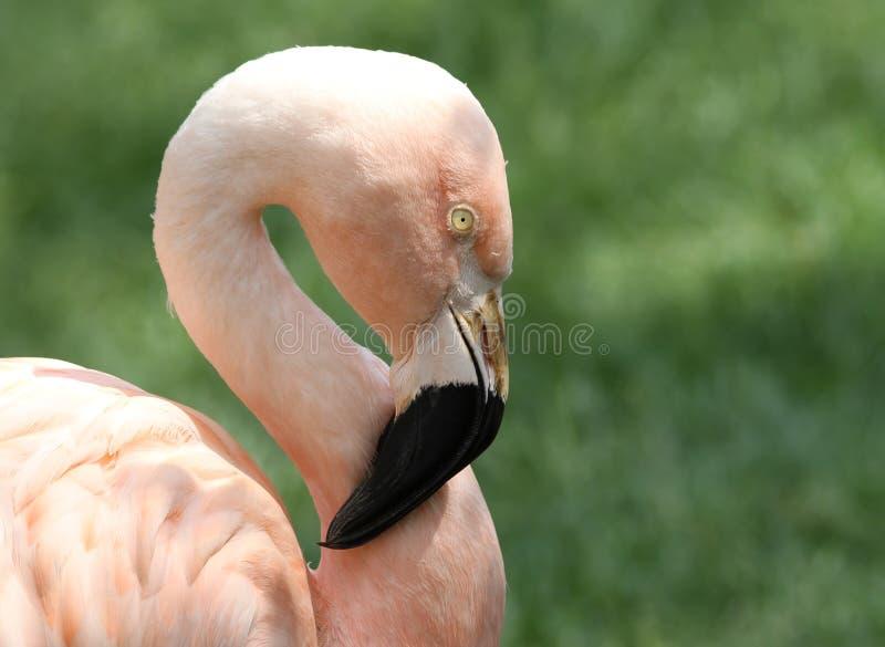 Chileense Flamingo met Groene Grasachtergrond royalty-vrije stock foto's