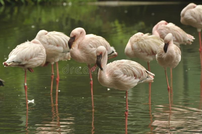 Chileense Flamingo's stock afbeelding