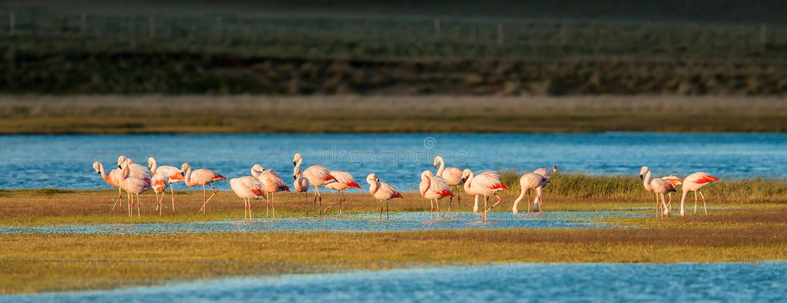 Chileense Flamingo's stock afbeeldingen