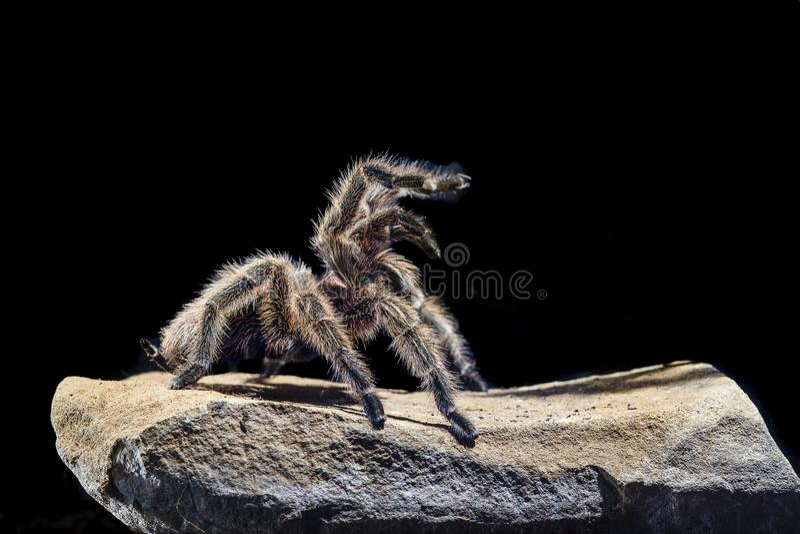 Chileense roze tarantula op een rots donkere achtergrond stock afbeelding