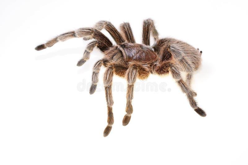 Chileno Rose Spider foto de archivo