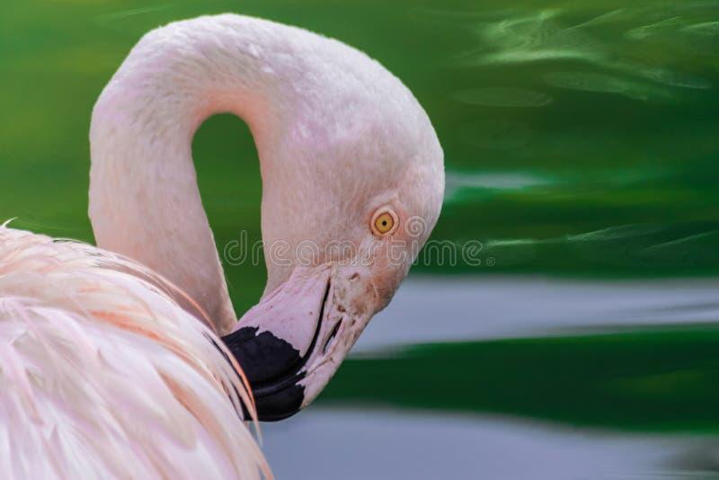 Chilensis chileno do phoenicopterus do flamingo imagem de stock royalty free