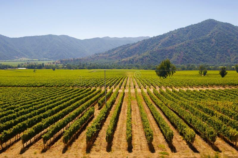 chilenska vingårdar royaltyfri bild