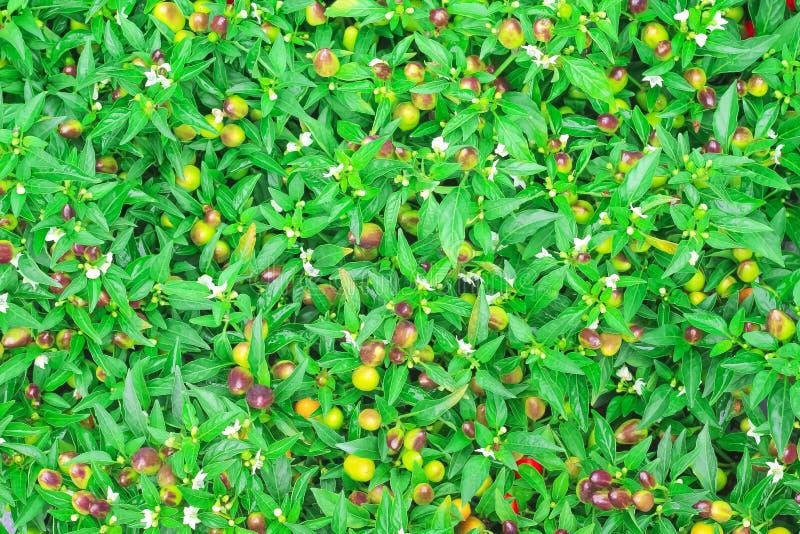 Chili för fem färg för bästa sikt som färgrik dekorativ blommar i organisk grönsaklantgård royaltyfri fotografi