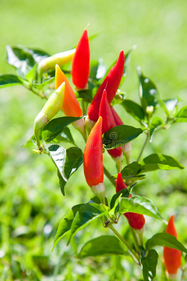 Free Chili Hot Peppers Plant In Red And Orange Stock Images - 21382464