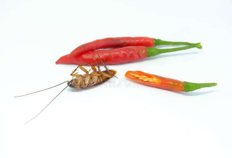 Chili może gonić karakany, Zamyka w górę karakanu chili na isolat zdjęcia stock