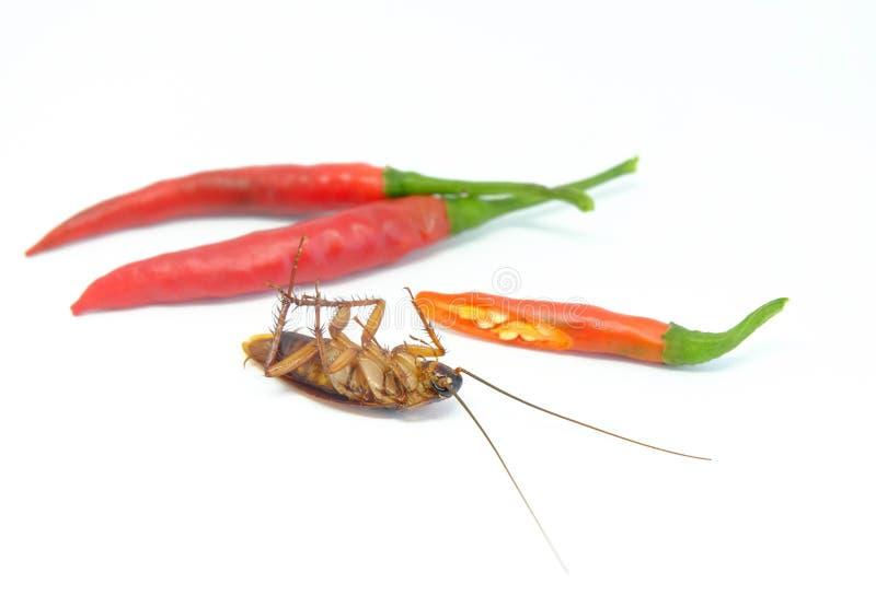Chili może gonić karakany, Zamyka w górę karakanu chili na isolat obraz royalty free