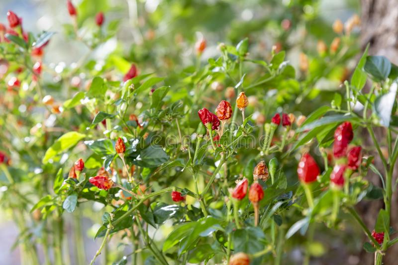 Chili pepper plant growing in the garden. Red, orange and yellow hot peppers. stock photography