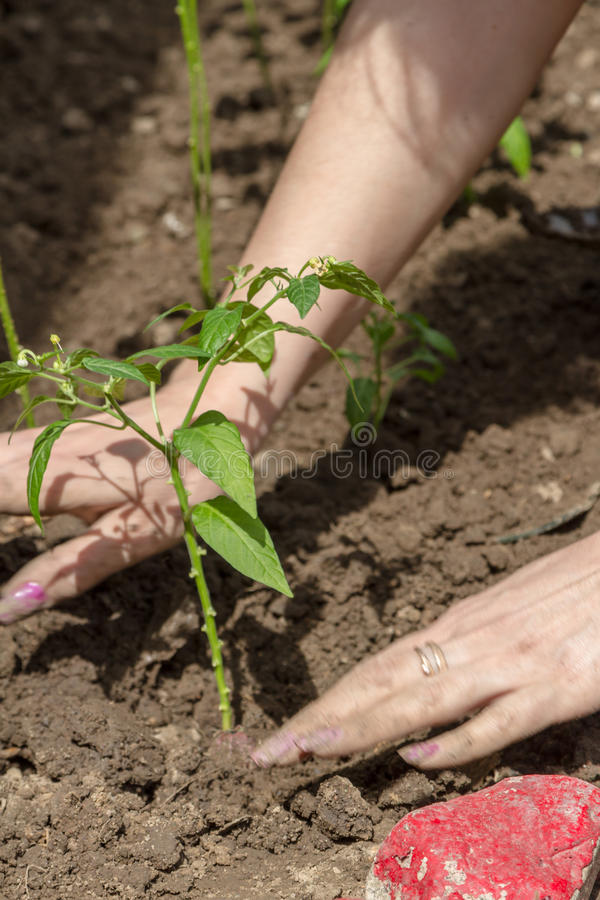 Chili pepper planted in the ground. By female hands in early spring stock photo