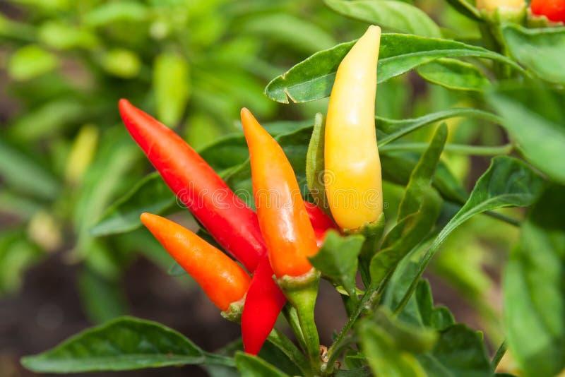 Chili Pepper rojo foto de archivo libre de regalías