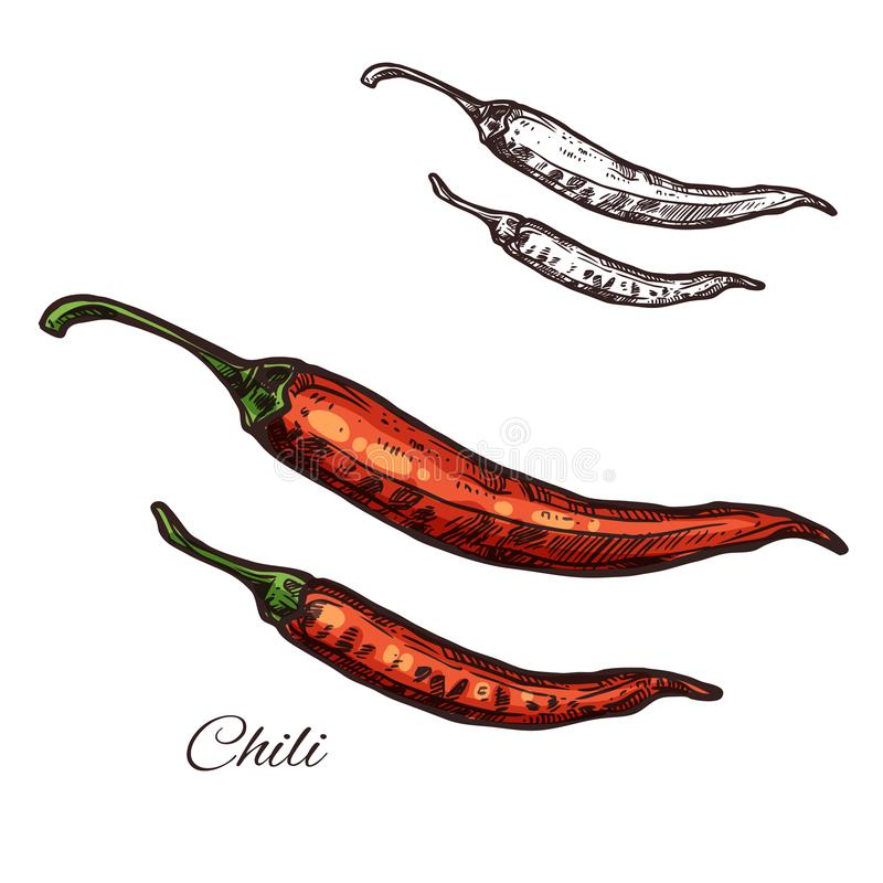 Chili pepper seasoning plant vector sketch icon. Chili pepper seasoning spice herb sketch icon. Vector isolated red chile pepper pod or jalapeno plant for royalty free illustration