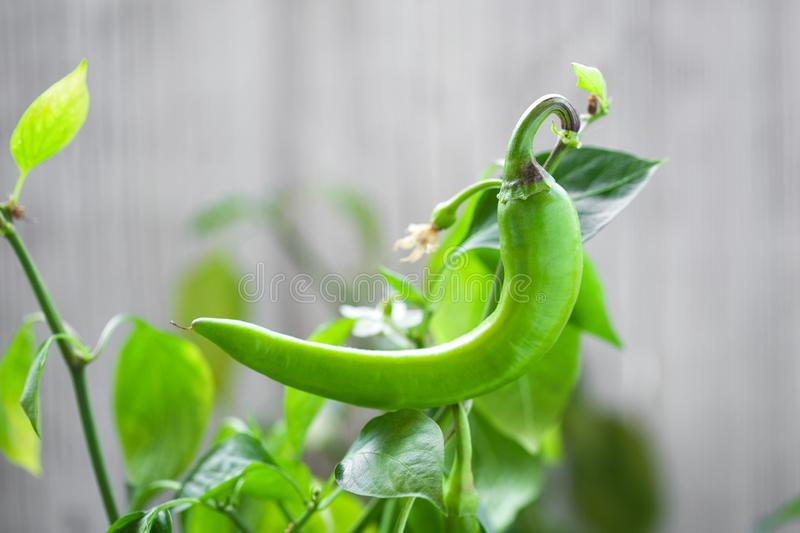 Chili peppers growing close-up royalty free stock images