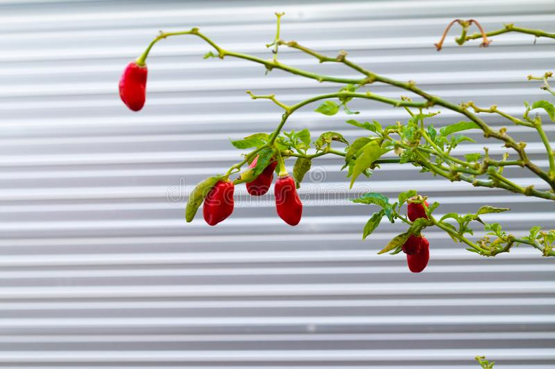 Chillli pepper plant and fruits. Chili peppers are widely used in many cuisines as a spice to add heat to dishes. The substances that give chili peppers their stock photography