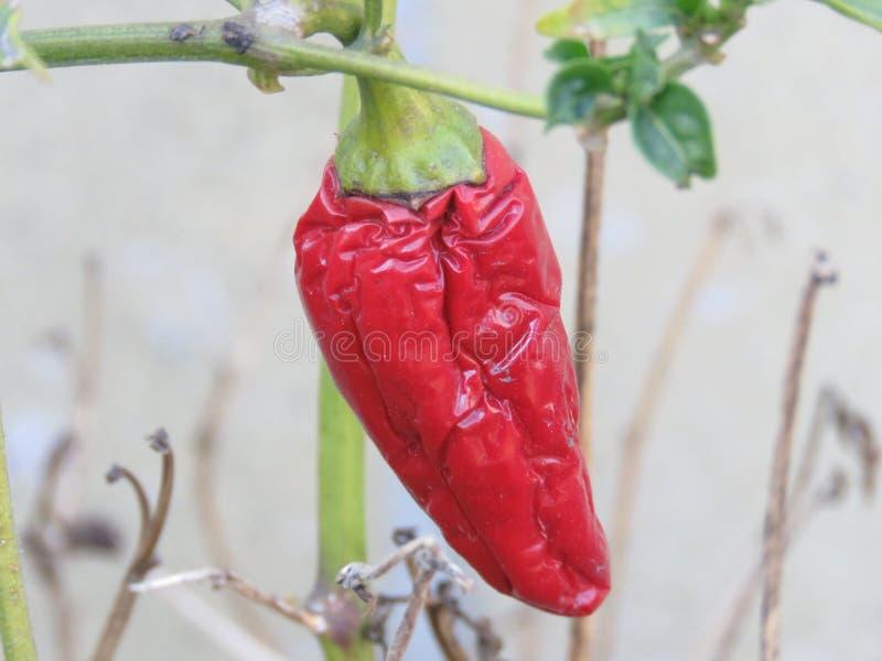 Chili pieprz obraz stock