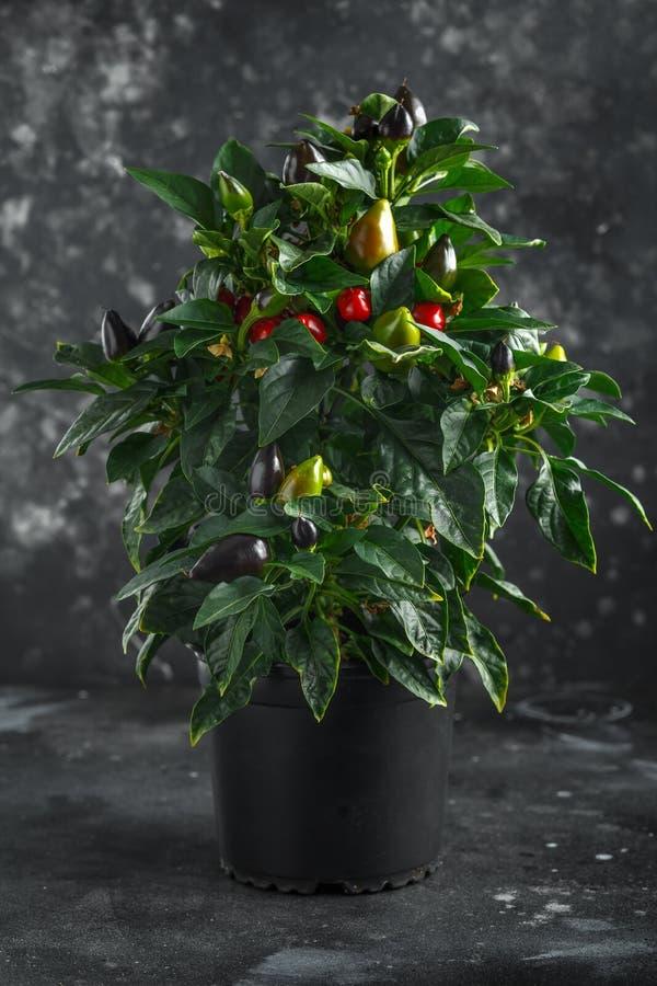 Chili pieprze na drzewie fotografia royalty free