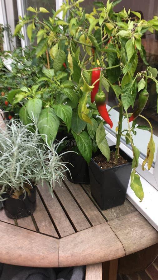 Chili rośliny obrazy royalty free