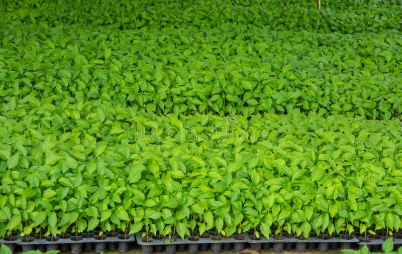 Chili Seed Nursery fotografia stock libera da diritti