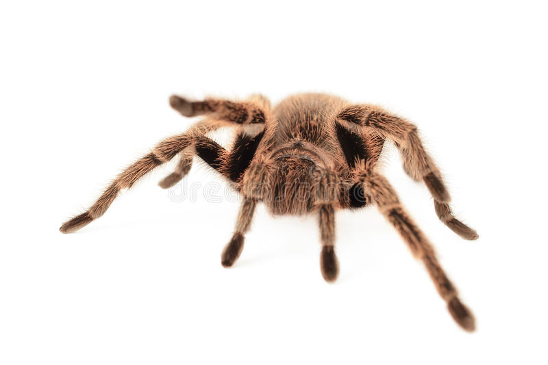 Chilien Rose Tarantula photographie stock