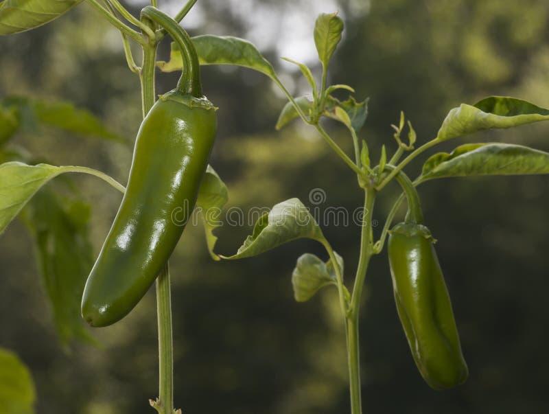 chilies royalty-vrije stock afbeelding