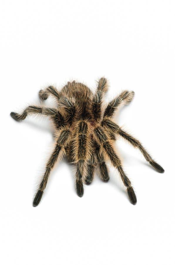 Chilijczyk różana tarantula zdjęcie royalty free