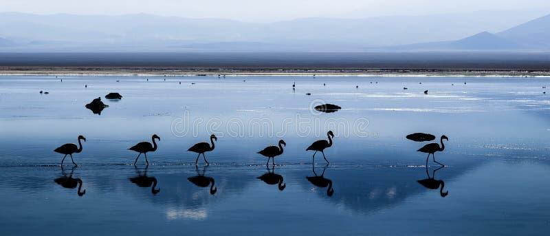 Chilijscy flamingi obraz royalty free