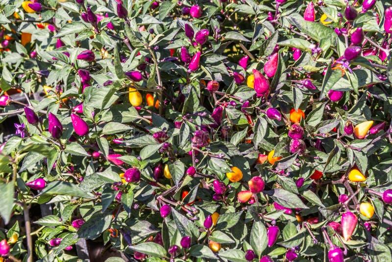 Chilipeppar Bush arkivfoton