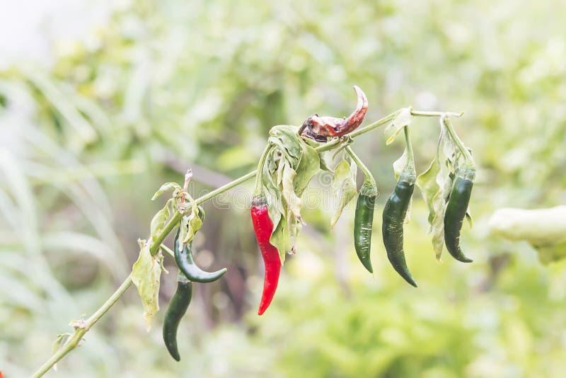 Chilipeppar i trädgården vissnade tack vare brist av vatten royaltyfri foto