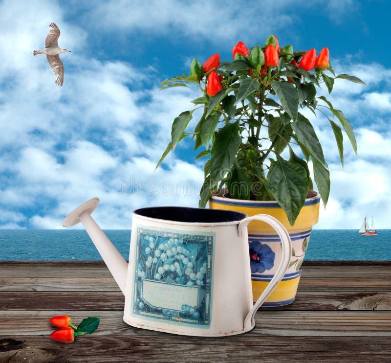 Chilipepparväxten med gammalt bevattna kan royaltyfri foto