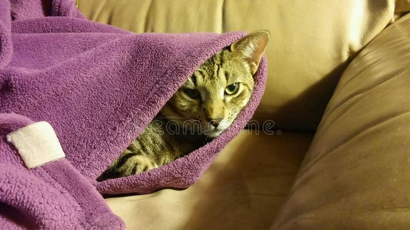 Cat peeking out from furry purple blanket. Chill cat takes a peek out from under purple covers stock photography