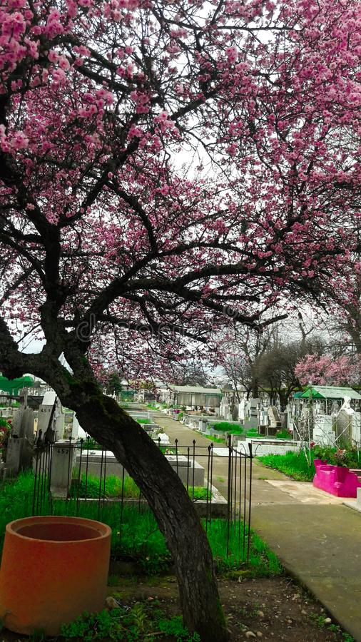 chillan的公墓,智利,樱桃树 图库摄影