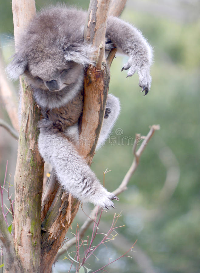 Chilled out Koala bear. This cute Koala bear is taking a nap resting in the fork of a tree and looks pretty chilled out royalty free stock image