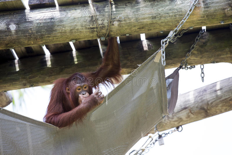 A chilled out Orangutan. royalty free stock images