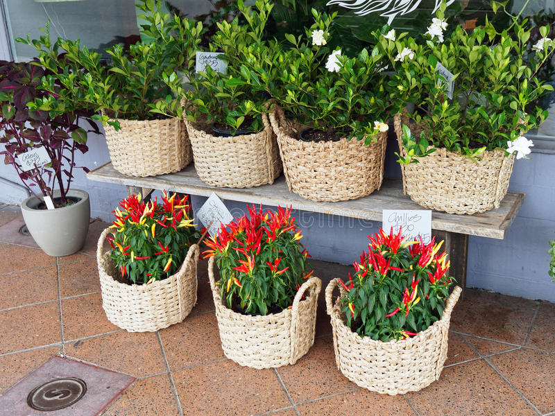 Chilli and Gardenia Pot Plants. Young gardenia and colourful chilli pot plants, in woven cane baskets, on display outside a flower and plant shop royalty free stock images