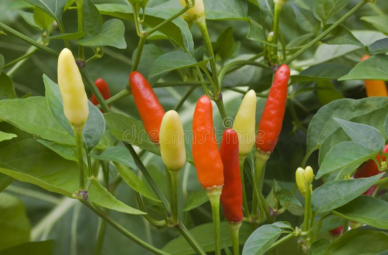 Chilli Pepper Bush. Small Chilli Pepper Plant Growth royalty free stock photos