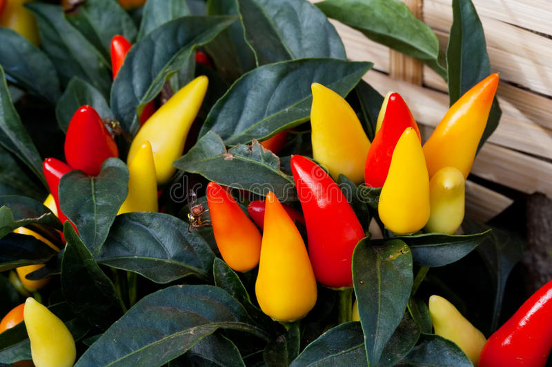 Chilli plant. Image of Chilli plant for cooking royalty free stock image