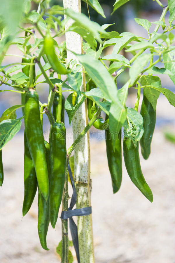 Chilli Plant At Mount Batur, Bali, Indonesia Royalty Free Stock Image