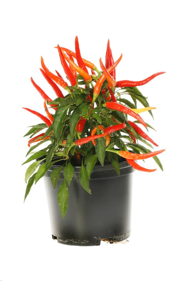Chilli plant in a pot. Fruiting chilli plant in a pot isolated against white royalty free stock photo