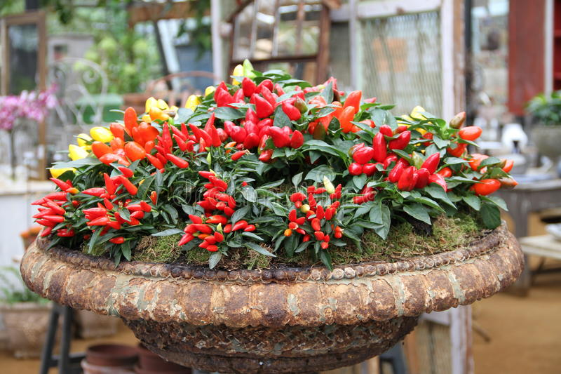 Chilli plants royalty free stock photography