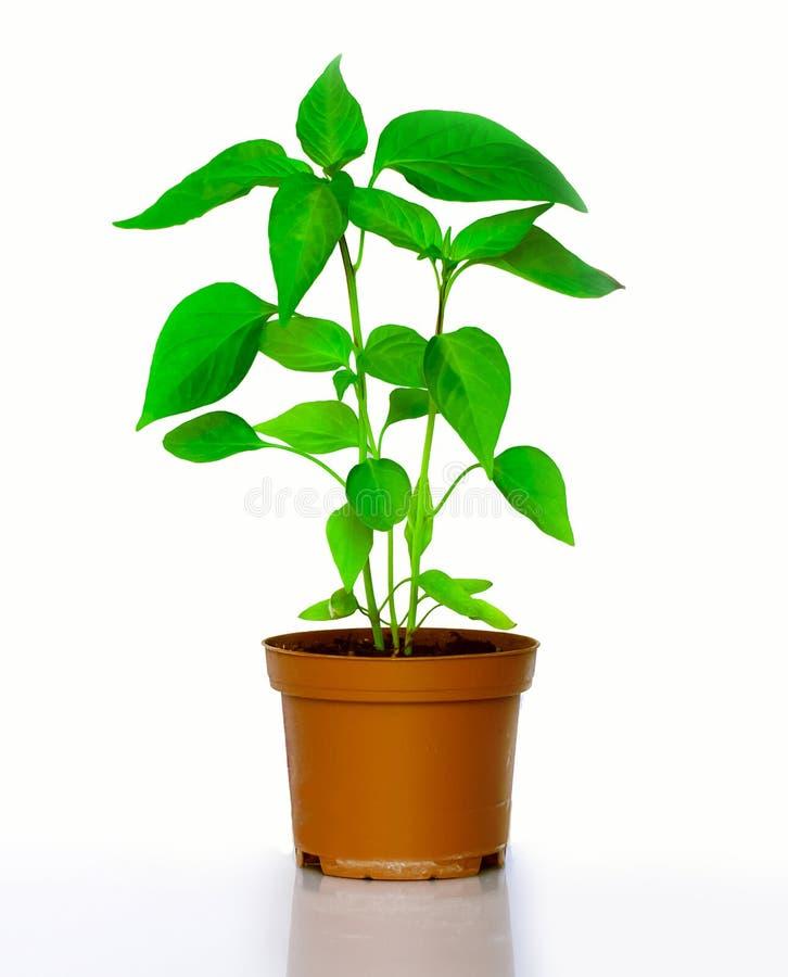 Chilli plants royalty free stock image
