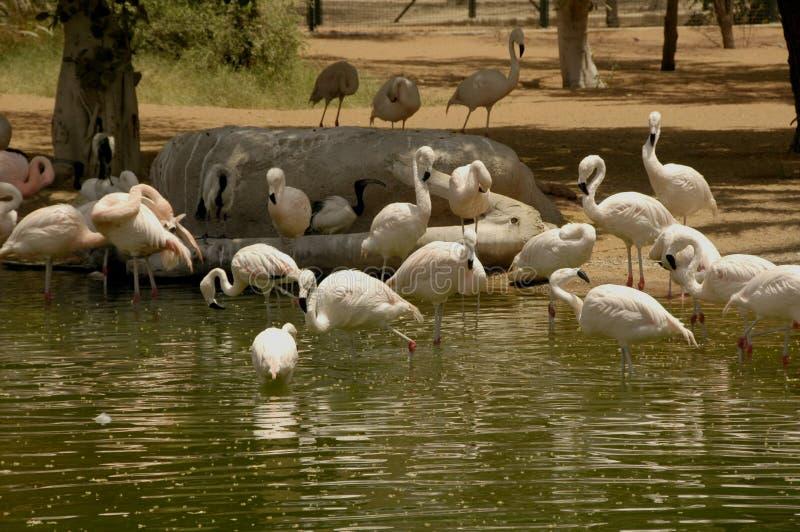 Chillian flamingo (den Phoenicopterus chilensisen) royaltyfria bilder