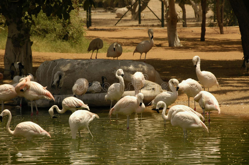 Chillian Flamingo (Phoenicopterus chilensis). A large wading and flocking bird native to South America stock photo