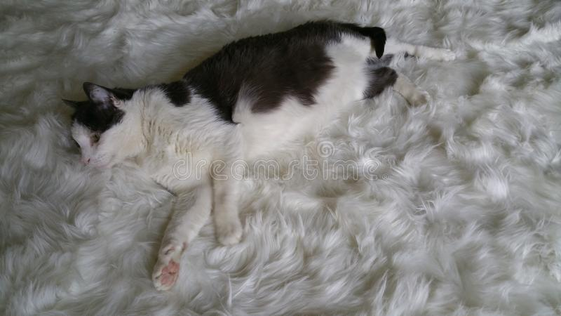 White fur with white and gray cat stretched out with the tail wrap. Chillin& x27; cat kitty enjoying some spoiling. Soft texture. Serene moid. Gaze into stock images