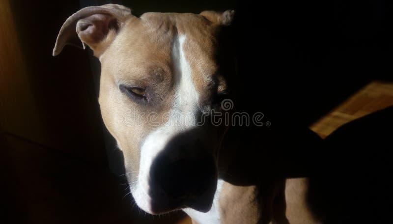 Chillin de chien de Stafford photographie stock