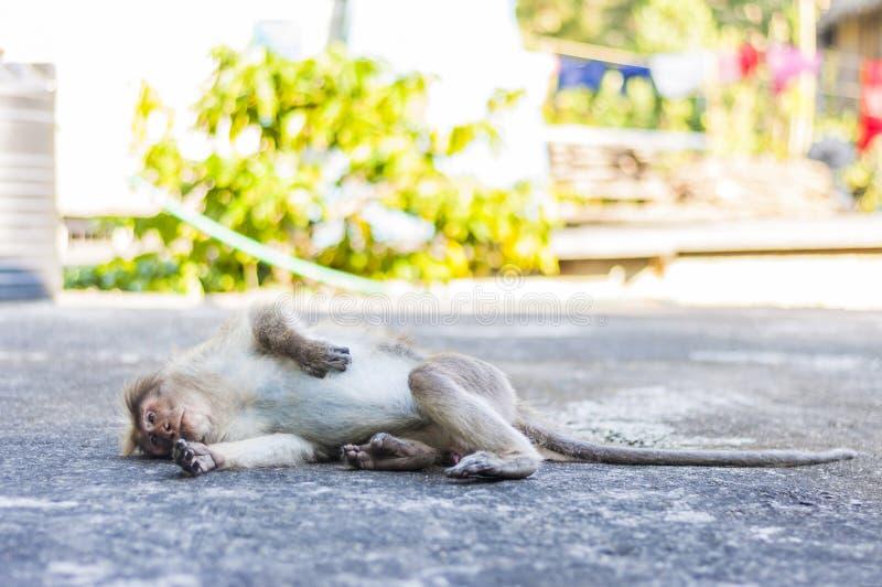 Chillin do macaco de Macaque da capota no telhado fotografia de stock